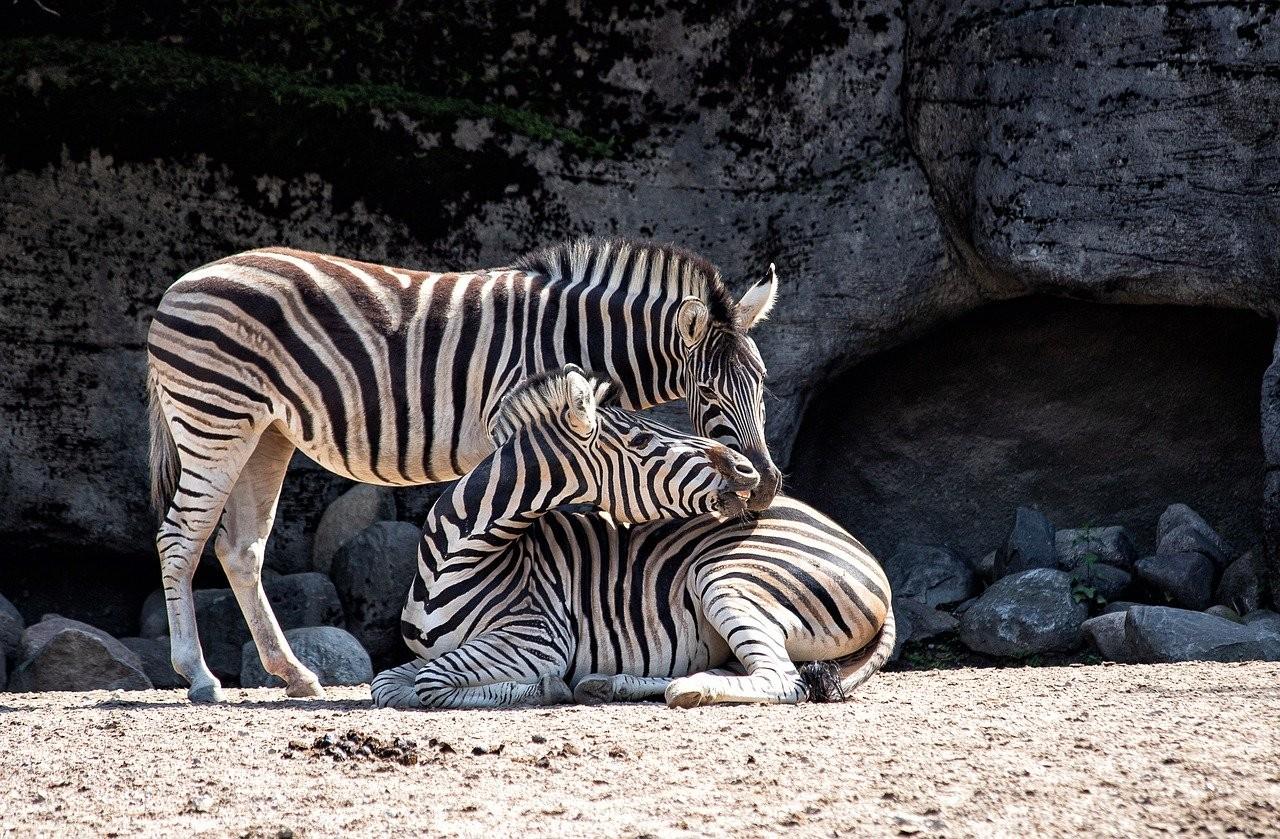 Miért csíkosak a zebrák?