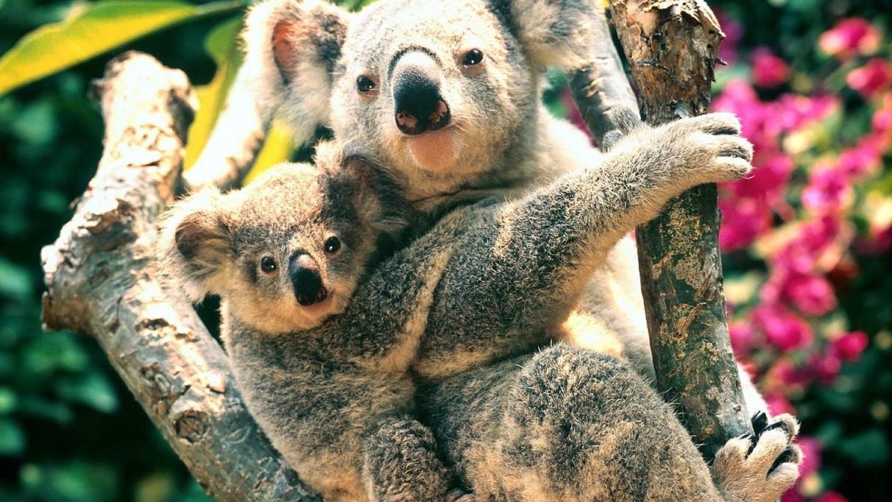 A koalák