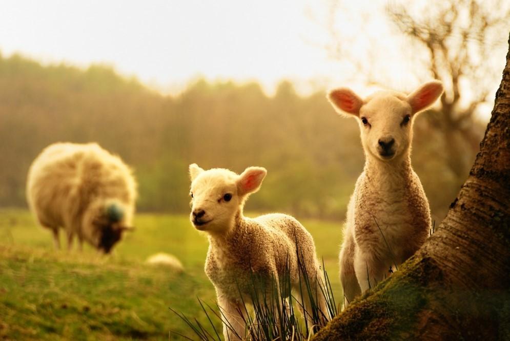 Bárány mami báránykái