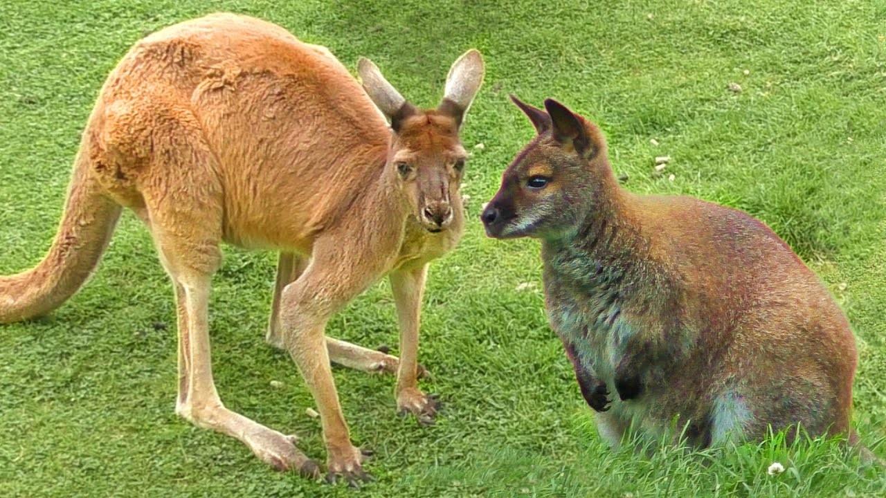 A hegyi kenguru ( wallaroo)