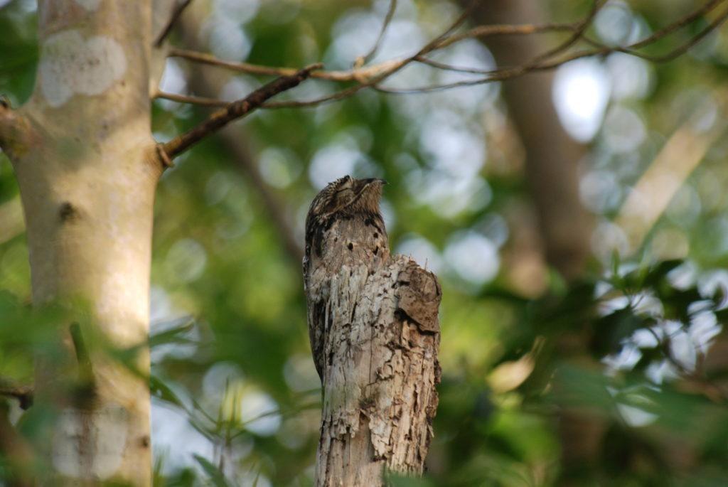 A lappantyúfélék: madarak amelyek kivételesen jól álcázzák magukat