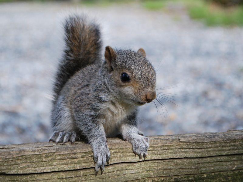A kaliforniai mókusok, hihetetlen bátorsággal szállnak szembe a csörgőkígyókkal. Vajon miért?